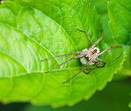 Insect spider on green leaf plants. Insect spider on green leaf plants, fauna Stock Image