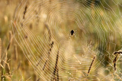 Insect spider web dew. Insect spider sits in a web closeup on blurred background of the grass Royalty Free Stock Photo