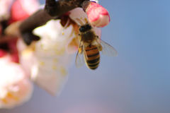 Insect on Spring flowers. Bee sucking pollen from buds on the branches. The pink flowers are opening up for Spring. Nectar remains attached to his legs and Stock Photos