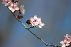 Insect on Spring flowers. Bee sucking pollen from buds on the branches. The pink flowers are opening up for Spring. Nectar remains attached to his legs and Stock Photography