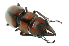 Insect stag beetle Stock Photography
