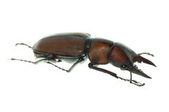 Insect stag beetle Royalty Free Stock Images