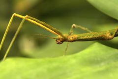 Insect stick Stock Photos