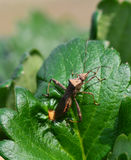 Insect on strawberries leaves Royalty Free Stock Photos