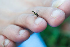 Insect Sucking blood form toe Royalty Free Stock Photography