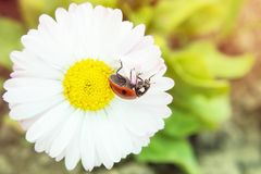 An insect sun crawls along a beautiful marigold. The sunset on the flower royalty free stock images