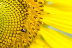 Insect at the sun flower. Close-up with the part of sun flower stock photography