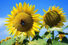 Insect on sunflower Royalty Free Stock Photo
