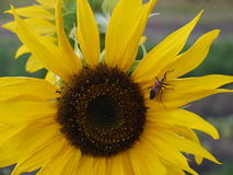 Insect on Sunflower. (Helianthus annuus) in Zambia Stock Images