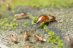 Insect, Termiet ter plaatse Royalty-vrije Stock Foto's