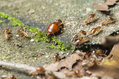 Insect, Termite on the ground. Insect of Thailand stock photography
