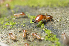 Insect, Termite on the ground. Insect of Thailand royalty free stock photos