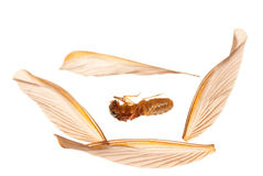 Insect termite white ant Royalty Free Stock Photo