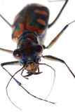 Insect tiger beetle Royalty Free Stock Images