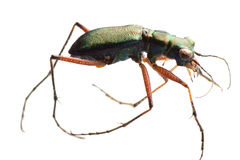 Insect tiger beetle Stock Photos