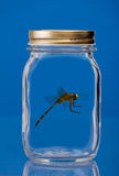 Insect trapped in a jar. With a blue background Royalty Free Stock Images