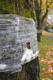 Insect Tree Band. A tree band adhesive used to prevent gypsy moth and other insects from reaching the leaves Stock Photography