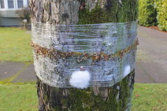 Insect Tree Band. An adhesive, sticky band wrapped around a tree trunk to prevent gypsy moth, cankerworms and other insects from reaching tree branches Royalty Free Stock Photography