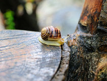 Insect on a tree stump grape snail Stock Image