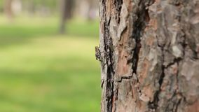 Insect on the Tree. Wild fly insect on the bark of a tree stock video footage