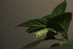 Insect under the leaves. The grasshopper on the leaf but still ready to jump stock image