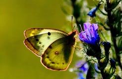 Insect van de steppen stock foto's