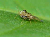Insect 1 van het hazelnootkant royalty-vrije stock afbeelding