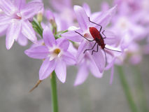 Insect on violet flowers. Macro view of red insect on blooming violet flowers royalty free stock images
