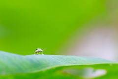 Insect walking on leaf Royalty Free Stock Photos