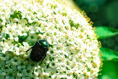 Insect walking over the large flower collecting the pollen. Captured close up stock photos