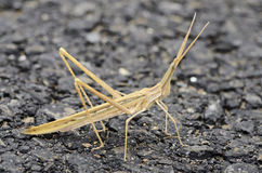 Insect walking stick bug in Spain Stock Images