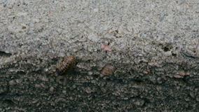 Insect on a Rock. An insect walks on the surface of a wet rock. Close up stock footage