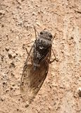 Insect on the wall - brown cicada Royalty Free Stock Photos