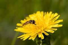 Insect Wasp On Head Flower On Meadow. Small Insect Wasp On Head Yellow Flower Dandelion, Eat Floral Nectar On Summer Meadow Close Up Stock Images