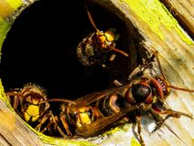 Insect, Wasp, Pest, Invertebrate Royalty Free Stock Images
