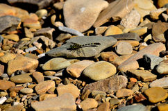 Insect. Waszka sitting on river rocks Royalty Free Stock Photography