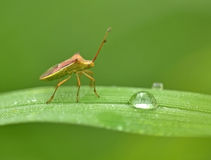 Insect and Water droplets on a leaf Royalty Free Stock Photography