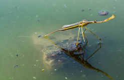 Insect in water Royalty Free Stock Photography