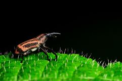 Insect , weevil Royalty Free Stock Photography