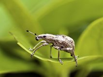 Insect weevil,Curculionidae Royalty Free Stock Images