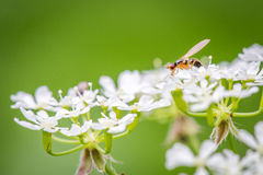 Insect on white flower. Close-up of a feeding insect of white flowers and green background Royalty Free Stock Photo