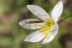 Insect on white flower Stock Images