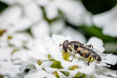 Insect on white flower. Episyrphus balteatus from Syrphidae family Royalty Free Stock Image