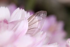 Insect wing on pink flower petals macro closeup; fra;. Fallen insect wing among pink flower petals, beautiful sensitive nature concept royalty free stock image