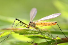 Insect with wings. And long legs Stock Image