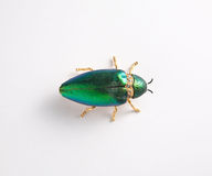 Insect wings hard Royalty Free Stock Images