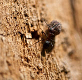 Insect wood ant at work. Stock Image