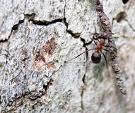 Insect wood ant at work. Royalty Free Stock Photo