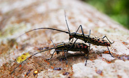 Insect wood. Wharf borer insect from the family of oedemedidae Stock Photo