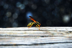 Insect. Yellow bee on a wood chair Stock Images